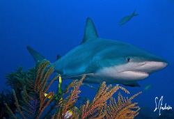 This image was taken while diving at Ginormous Reef, a re... by Steven Anderson