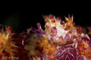 Candy Crab.  D300/Inon Strobes/105mm + Diopter. by Richard Witmer