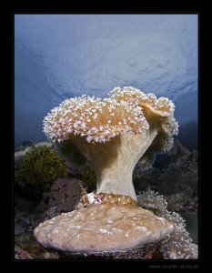 """""""Octocorals""""   by Henry Jager"""