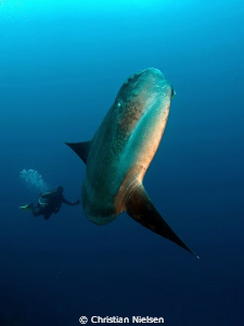 Mola mola with my divemaster. Big boy (the fish). Olympus... by Christian Nielsen
