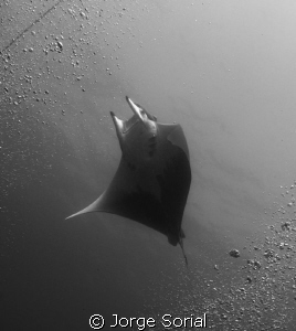Chilean devil ray in a sandwich of bubbles. We we're look... by Jorge Sorial