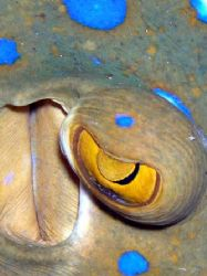 eye of blue spotted stingray by Guja Tione
