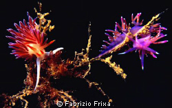 Two different species of nudibranchs Cratena peregrina an... by Fabrizio Frixa