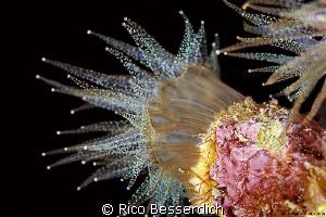 Phyllangia by Rico Besserdich