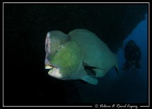 Green Humphead Parrot fish under the Liberty Wreck (follo... by Raoul Caprez