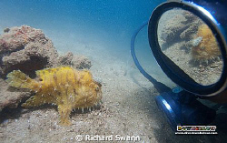 Vanity ! Hairy Frogfish, TAR Park, Sabah, Borneo by Richard Swann