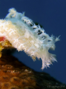 Nudibranch (Tritoniopsis sp.) by Brian Mayes