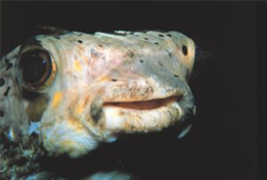 """The Most Beautiful Eyes in the Sea"" Spiny Pufferfish tak... by John H. Fields"