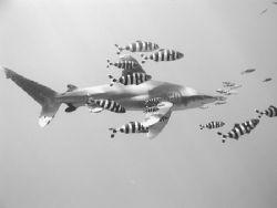 longimanus @ elphinstone reef, red sea by Guja Tione
