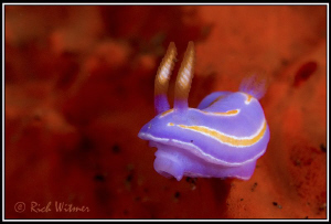 3D - Tiny Nudi (Pectenodoris trilineata).  D300/Inon Stro... by Richard Witmer