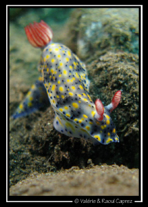 Hypselodoris infucata on its way by Raoul Caprez