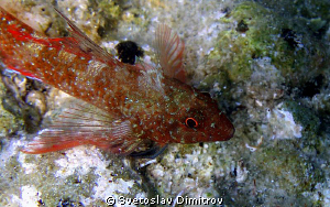 This bleny is ready to smile for my camera. Olimpys M 700. by Svetoslav Dimitrov