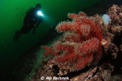 Red soft corals from Marmara Island. Taken with Nikon D80... by Alp Baranok