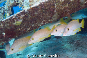 Here's lookin' at you kid.  Wary fish in the Caribbean. by Stuart Spechler