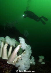 """Plumose anemones in the """"Emerald Sea"""". Vancouver, BC Can... by Lee Newman"""