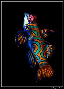 Mandarinfish by Dray Van Beeck