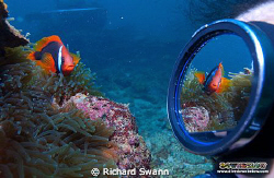 Tricky but fun ;) Bridled Anemonefish, TAR Park, Kota Kin... by Richard Swann