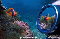 Tricky but fun ;) Bridled Anemonefish, TAR Park, Kota Kin... by Richard Swann