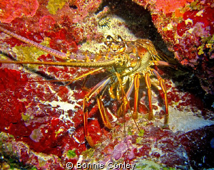 Lobster seen in Grand Cayman.  Photo taken with a Canon S... by Bonnie Conley