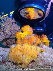 Hairy Frogfish with diver. TAR Park Kota Kinabalu Sabah, ... by Richard Swann