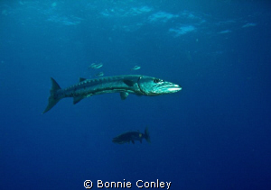 Barracuda seen in Grand Cayman August 2010.  Photo taken ... by Bonnie Conley
