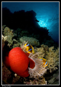 Red anemone and anemone fish XVI by Dray Van Beeck