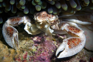 porcelain crab filtring for food by Henry Jager