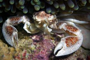 porcelain crab filtring for food by Henry Jager