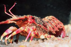 """Royalty"" Regal Slipper Lobster taken off the Big Island ... by John H. Fields"