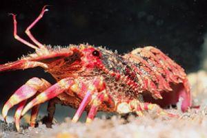 """""""Royalty"""" Regal Slipper Lobster taken off the Big Island ... by John H. Fields"""