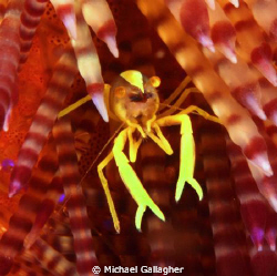 Tiny commensal shrimp on fire urchin, Komodo, Indonesia by Michael Gallagher