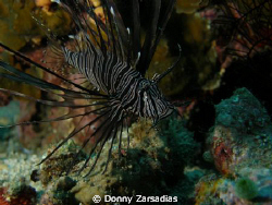 Lion Fish taken at Puerto Gallera, Mindoro, Philippines by Donny Zarsadias