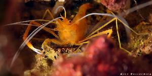 """Shrimp Mania"" by Rico Besserdich"