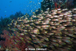 These glassfish can be found around a pinnacle at Coral G... by Mona Dienhart