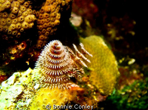 Christmas Tree Worm seen in Grand Cayman August 2010.  Ph... by Bonnie Conley