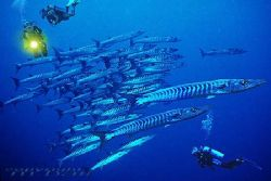 sulawesi barrakudas COMPOSING > divers - nikRS - strobe s... by Manfred Bail