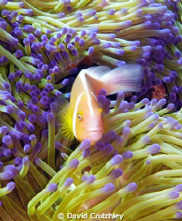 this pink anenome clownfish just looked so beautiful agai... by David Crutchley