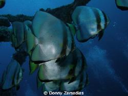 Bat Fish taken at Alma Jane, Puerto Gallera, Mindoro, Phi... by Donny Zarsadias