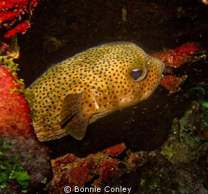 Porcupinefish seen in Grand Cayman August 2010.  Photo ta... by Bonnie Conley