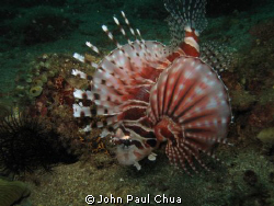 Lion fish swimming. Anilao, Batangas, Philippines using C... by John Paul Chua
