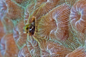 Secretary Blenny, Grand Cayman. by Patrick Reardon