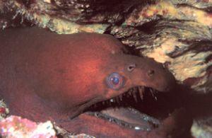 """Teeth"" Viper Moray Eel taken off the Big Island of Hawai... by John H. Fields"