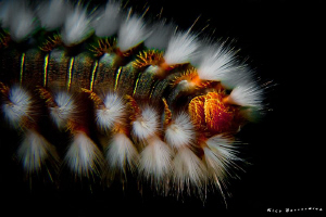 Fireworm closeup. CANON 60mm macro lens with +10 diopter,... by Rico Besserdich