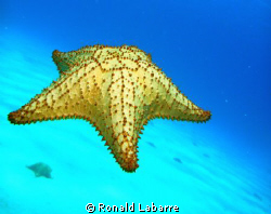 Flying Starfish on West Bay reef, Roatan. by Ronald Labarre