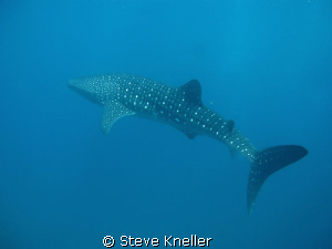 Whale Shark beautiful condition very curious and interact... by Steve Kneller