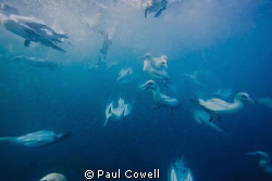 Cape Gannets hurtling into the water next to me, hoping f... by Paul Cowell