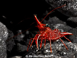 Dancing Shrimp by Els Van Den Borre