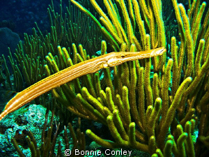 Yellow Trumpetfish seen in Grand Cayman August 2010.  Pho... by Bonnie Conley