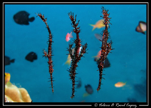 A school of Solenostomus paradoxus :-) by Raoul Caprez