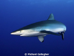 Silky shark in the Red Sea, Sudan by Michael Gallagher